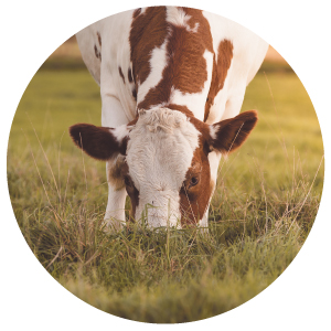 Enviromedica Pastured Beef Liver provides a nutritional powerhouse and a fundamental role in supporting healthy skin, eyes, metabolism, immune function, strong bones, and collagen synthesis.
